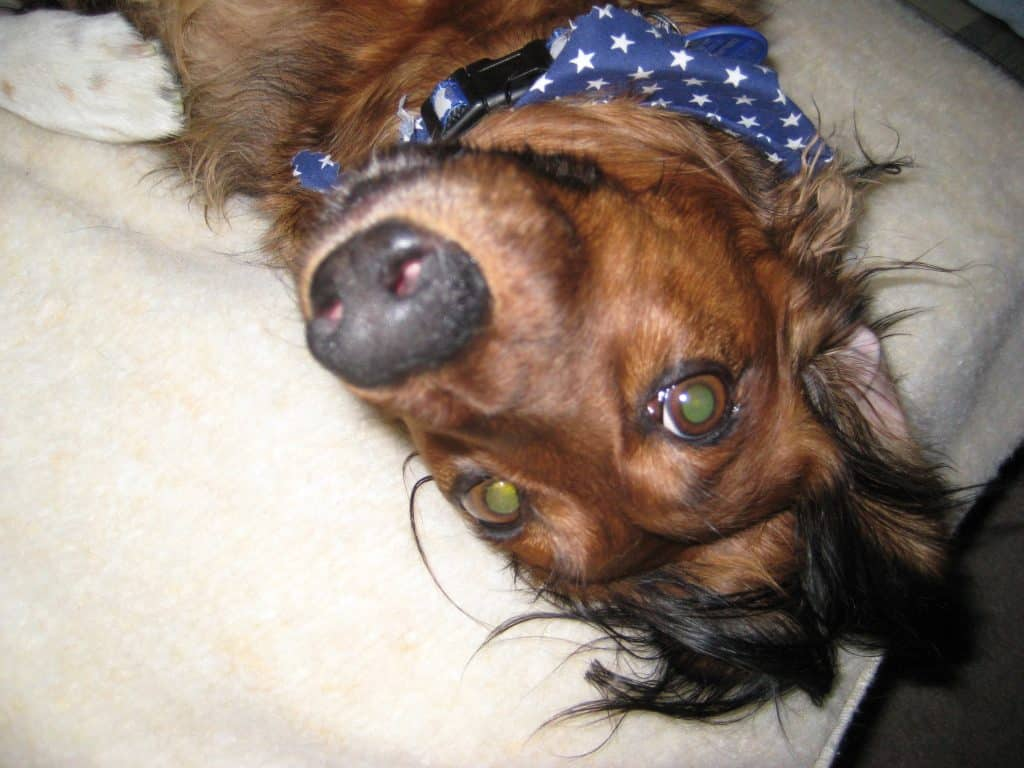 Upside-down Dachshund
